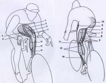 Muscoli delle gambe che lavorano quando si pedala for Interno coscia bicicletta